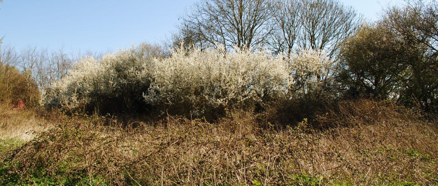 blackthorn tree in blossom
